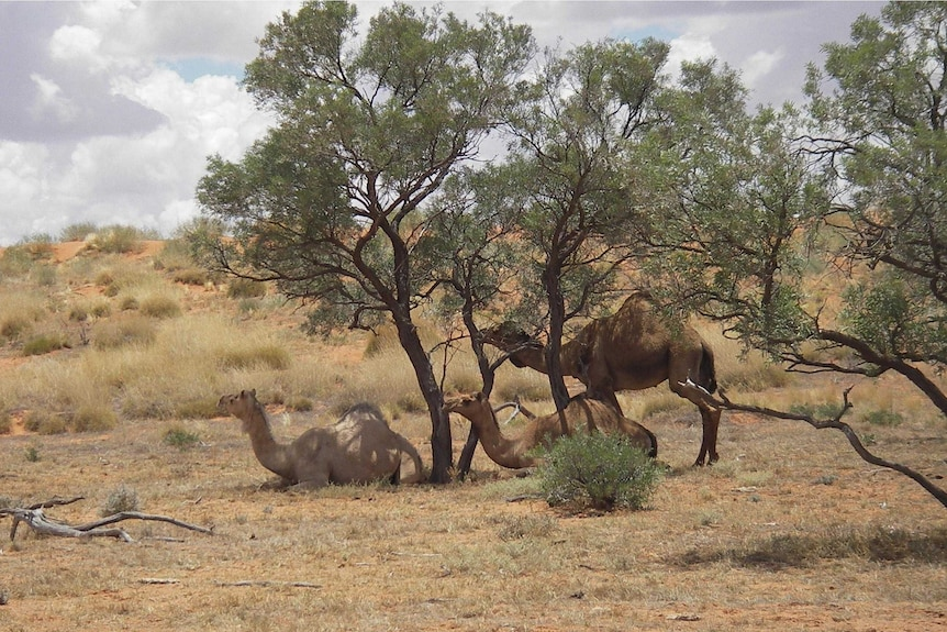 Camels under a couple of trees with sparse land around them.