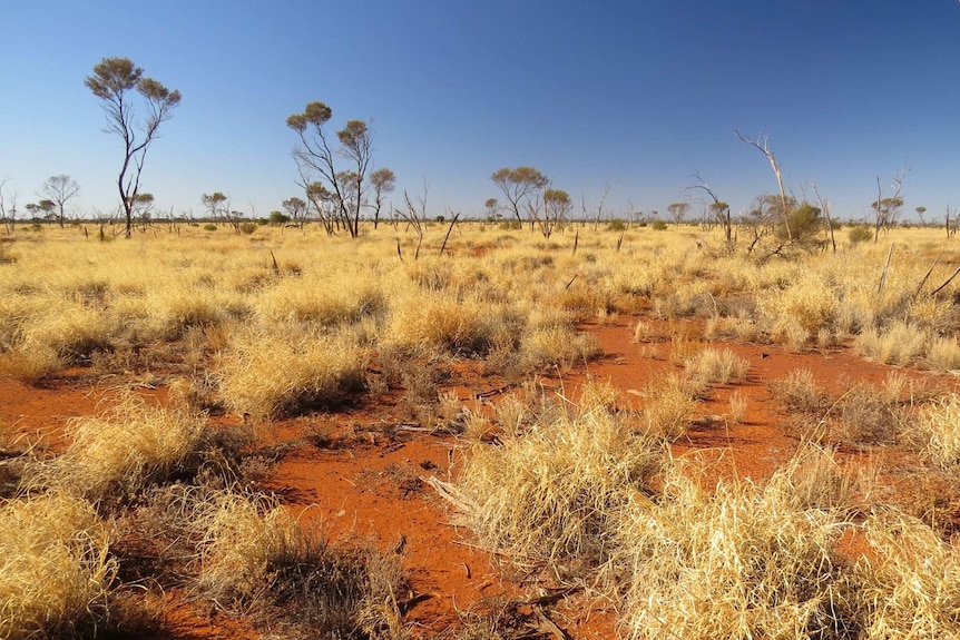 Golden dry grass and red dust around sparse and gnarled trees.